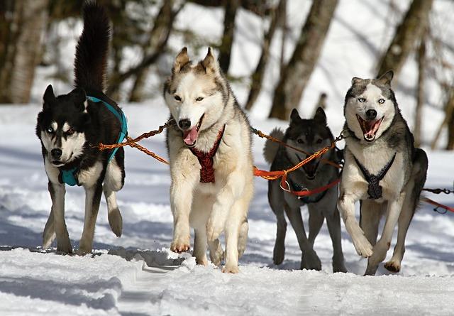 寒い地域原産の犬はダブルコート